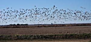 Louisiana Geese