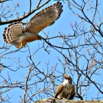 Hawks Celebrating the Arrival of Spring