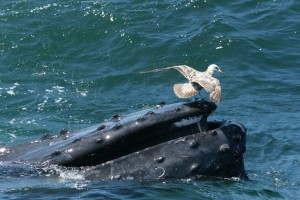 Humpback Whale Feeding Off the Coast of Cape Cod (with Seagull)