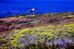Carpet of Flowers on the Pacific Coastal Highway